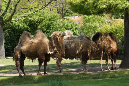 Bactrian camel (Camelus ferus bactrianus)