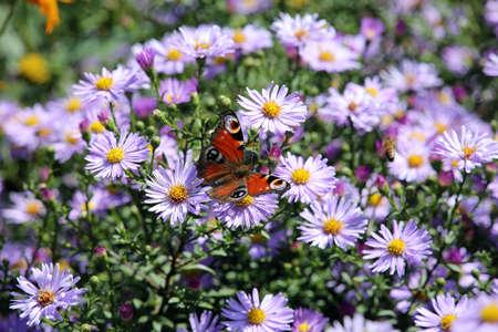 Peacock butterfly (Aglais io) on purple purple wild chrysanthemum (Aster spec.), Weilerswist, North Rhine-Westphalia, Germany