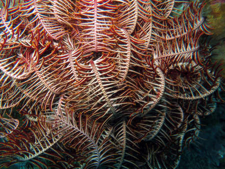 feather star (Comanthus sp.), Pintuyan, Panaon Island, Southern Leyte, Philippines