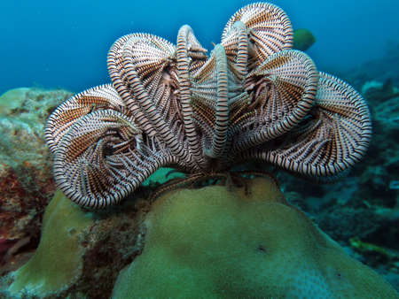 feather star, (Comanthus sp.), Pintuyan, Panaon Island, Southern Leyte, Philippines