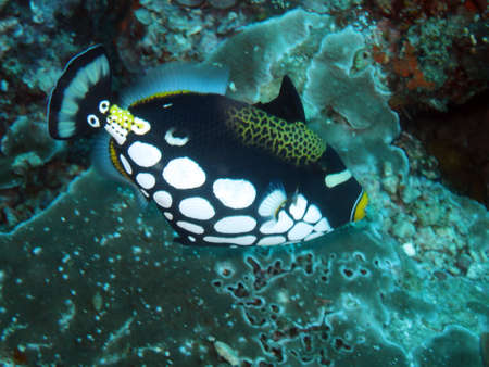 triggerfish: clown triggerfish (Balistoides conspicillum), Pintuyan, Panaon Island, Southern Leyte, Philippines