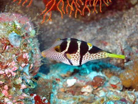 Sattel-Spitzkopfkugelfisch oder Sattel-Krugfisch (Canthigaster valentini), Pintuyan, Panaon Island, Southern Leyte,Philippinen