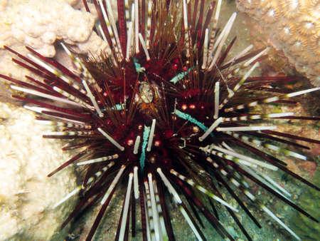 banded urchin (Echinothrix calamaris), calamaris sea urchin, Pintuyan, Panaon Island, Southern Leyte, Philippines Imagens