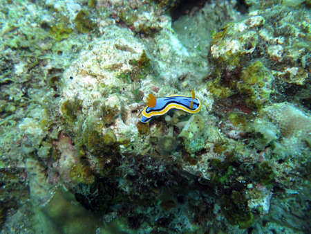 Annas Chromodoris (Chromodoris annae) Stock Photo
