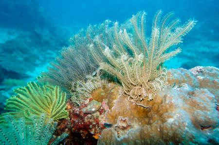 Hair star, feather star (Comanthus sp.), Pintuyan, Panaon Island, Southern Leyte, Philippines
