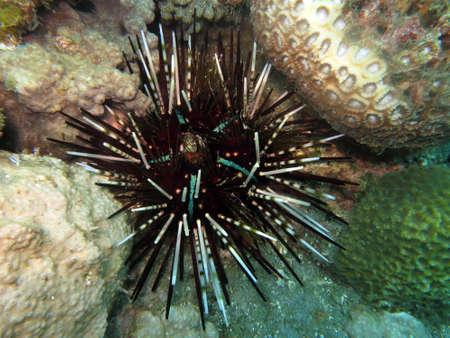 banded urchin (Echinothrix calamaris), calamaris sea urchin, Pintuyan, Panaon Island, Southern Leyte, Philippines Imagens - 89437618