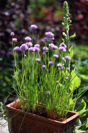 Blossoming chives in clay pot Stok Fotoğraf