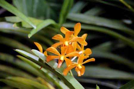 Orchid hybrid Aranda Abdul Halim Muadzam Shah (Arachnis hookeriana x Vanda Su-Fu Beauty)