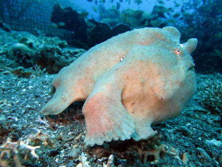 Commersons frogfish (Antennarius commersoni), giant frogfish, Pintuyan, Panaon Island, Southern Leyte, Philippines