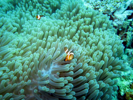 Clown - Anemonefish (Amphiprion ocellaris) on a magnificent anemone or Mauritius anemone (Heteractis magnifica), Pintuyan, Panaon Island, Southern Leyte, Philippines