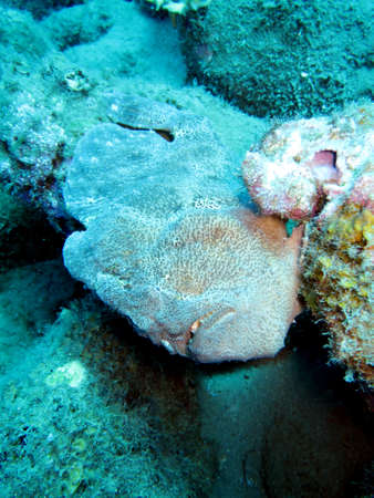 Commersons frogfish (Antennarius commerson or Antennarius commersoni), Pintuyan, Panaon Island, Southern Leyte, Philippines