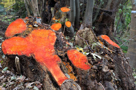 discolored: Tree stumps of alder, which faded orange after logging, Weilerswist, North Rhine-Westphalia, Germany Stock Photo
