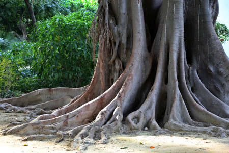 Trunk and roots of Coussapoa dealbata) in Maria Luisa Park, Sevilla, Andalusia, Spain Stock Photo