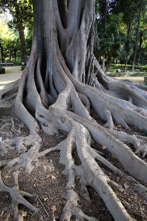 Tribe and roots of Coussapoa dealbata in Maria Luisa Park, Sevilla, Andalusia, Spain