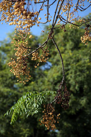 chinaberry tree (Melia azedarach), Persian lilac, Chinese elder or paternoster tree, Sevilla, Andalusia, Spain Standard-Bild - 92627661