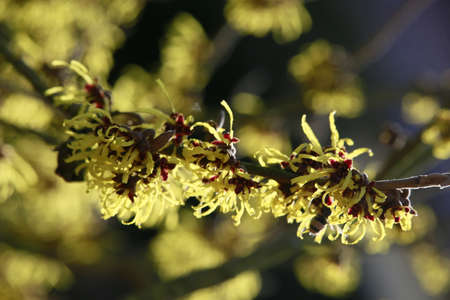 Witch hazel, flowering shrub in January, North Rhine-Westphalia, Germany, Weilerswist Stock Photo
