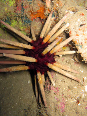 Pencil Urchin - Phyllacanthus imperialis, Pintuyan, Panaon Island, Southern Leyte, Philippines