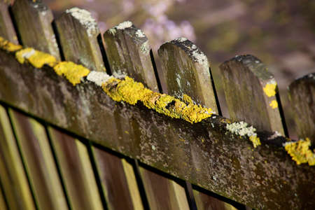 Lichen on a garden fence made of wood