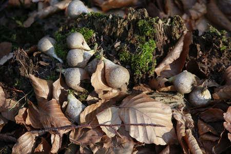 Dead Bovists on the forest floor, Brühl, North Rhine-Westphalia, Germany Archivio Fotografico
