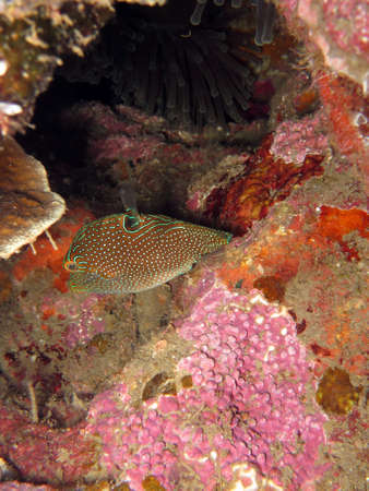 Papuan toby (Canthigaster papua), Pintuyan, Panaon Island, Southern Leyte, Philippines Stock Photo