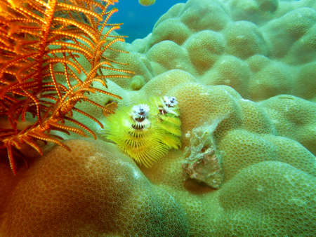 Christmas tree worm (Spirobranchus giganteus) on a Lesser-Pied Stone Coral (Porites spp.), Pintuyan, Panaon Island, Southern Leyte, Philippines