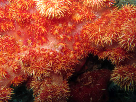 Soft coral Dendronephthya spec., Pintuyan, Panaon Island, Southern Leyte, Philippines Stock Photo
