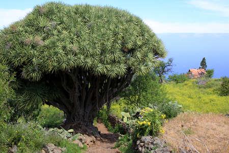 Dragon tree Dracaena draco - Hike from Las Tricias to Santo Domingo de GarafÃa, La Palma, Canary Islands, Spain 版權商用圖片