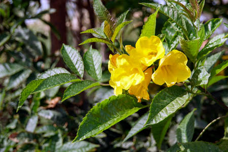 Trumpet shrub yellow trumpet flower yellow bell tecoma stans trumpet shrub yellow trumpet flower yellow bell tecoma stans el quseir mightylinksfo