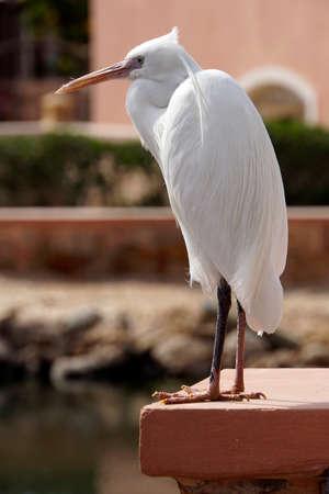 Little Egret Egretta Garzetta, El Quesir, Egypt