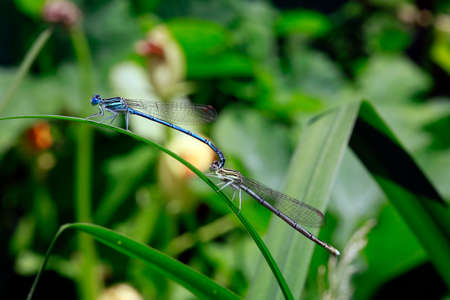 Tandem of a white-legged damselfly, blue featherleg (Platycnemis pennipes) Stock Photo