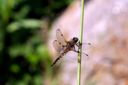 Four-spotted chaser (Libellula quadrimaculata) Stockfoto