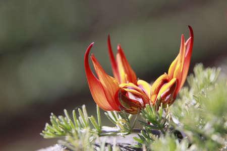 lotus vine flower, parrot (or parrots) beak, pelican beak, coral gem (Lotus berthelotii), Tijarafe, La Palma, Canary Islands, Spain