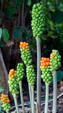 wild arum (Arum maculatum), infructescence