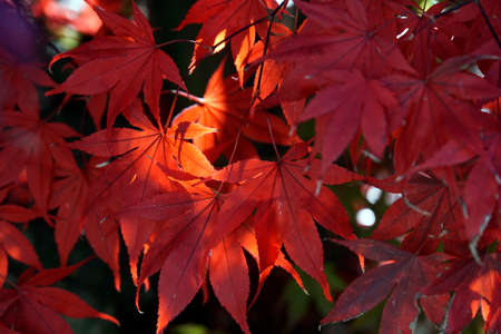 blood-red leaves of the Amur maple, downy Japanese maple, full moon maple (Acer japonicum) or Thunbergs fan maple in autumn Stock Photo