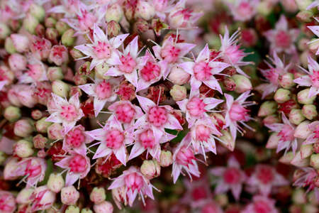showy stonecrop, ice plant, butterfly stonecrop (Hylotelephium spectabile) Stock Photo