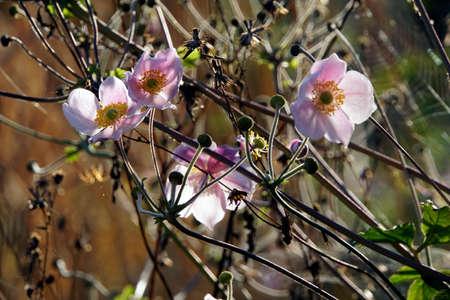 Chinese anemone or Japanese anemone, thimbleweed (Anemone hupehensis) Stock Photo