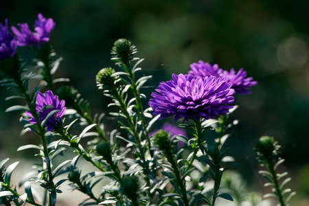 New York aster (Aster novi-belgii) - purple hybrid