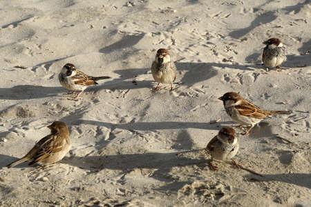 Sparrow - Passer domesticus