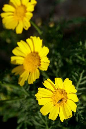 garland chrysanthemum, chrysanthemum greens (Glebionis coronaria), Marfa Ridge, Mellieha, Malta