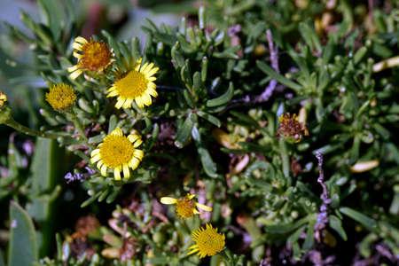 Golden samphire (Limbarda crithmoides, Syn. Inula crithmoides), Malata Stock Photo