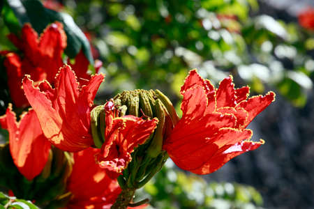 African Tulip Tree (Spathodea campanulata), Los Llanos de Aridane, La Palma, Canary Islands, Spain
