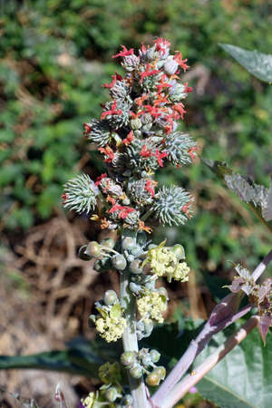Castor (Ricinus communis), inflorescence with male and female flowers, El Paso, La Palma, Canary Islands, Spain