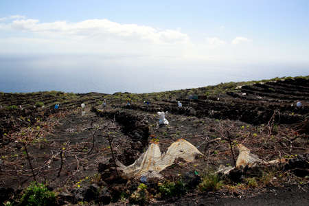 Wine landscape Las Machuqueras with Cadenas called dry stone walls to protect against trade winds, Fuencaliente, La Palma, Canary Islands, Spain