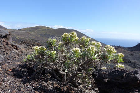 White echium (Echium brevirame) already blooms in February - endemic to La Palma, Fuencaliente, La Palma, Canary Islands, Spain