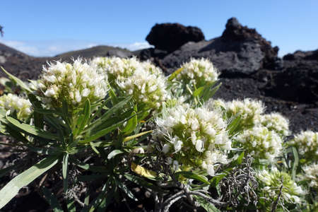 White Echium (Echium brevirame) flowers already in February - endemic to La Palma, Fuencaliente, La Palma, Canary Islands, Spain