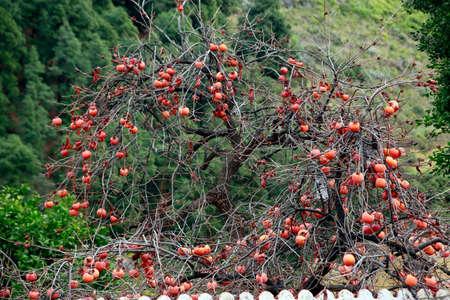 Oriental persimmon (Diospyros kaki) tree with overripe fruits, La Palma, Canary Islands, Spain