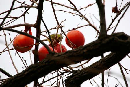 Oriental persimmon (Diospyros kaki), Atlantic canary (Serinus canaria) eats overripe fruits, La Palma, Canary Islands, Spain Reklamní fotografie