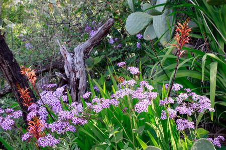Papery cineraria (Pericallis papyracea), endemic to La Palma - trek to Las Tricias, Garafia, La Palma, Canary Islands, Spain Reklamní fotografie