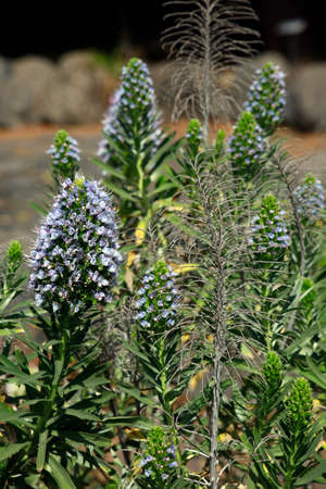 Echium brevirame endemic to La Palma, El Paso, Canary Islands, Spain