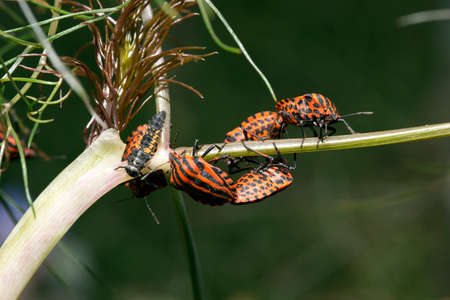 the Streifenwanze (Graphosoma lineatum)